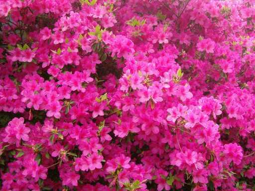 Azalea flowers.jpg