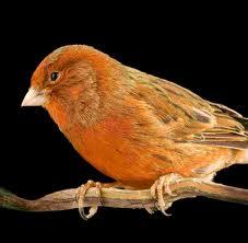 Pets/Serra's Canary