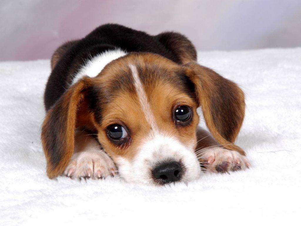Pets/Olivia's Beagle