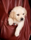 9600545-six-weeks-old-golden-retriever-puppy-in-a-coat-pocket.jpg