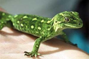 Pets/Lilian's Pet Gecko, Fred