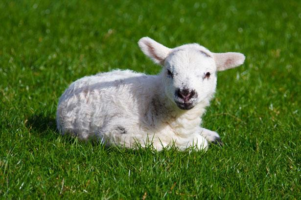 Baby-lamb.jpg