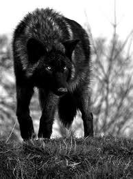 Pets/Luna's wolves