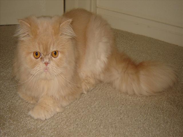 Pets/Quinn's Persian Cat