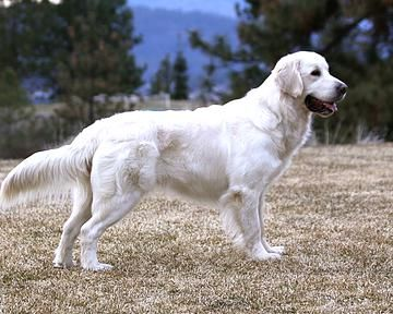 Ac4cd99474e27c27c167d1a8f1f685e9--golden-retriever-puppies-golden-retrievers.jpg