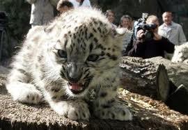 Baby Leopard.jpg