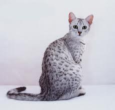 Pets/Diara's Egyptian Mau