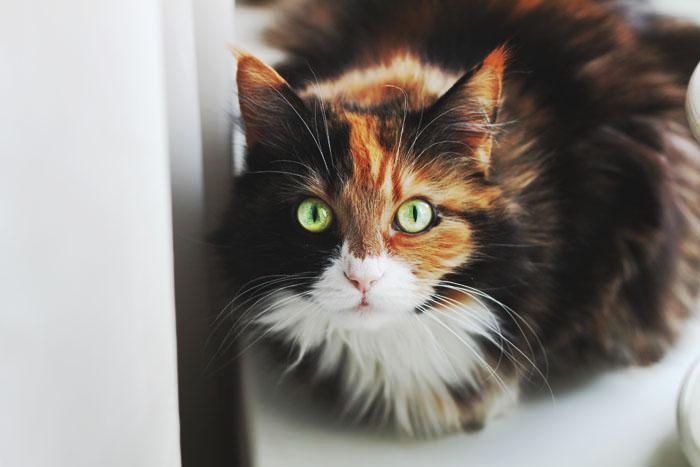 Pets/Domino