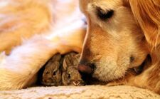 Golden-retriever-adopts-two-abandoned-baby-rabbits