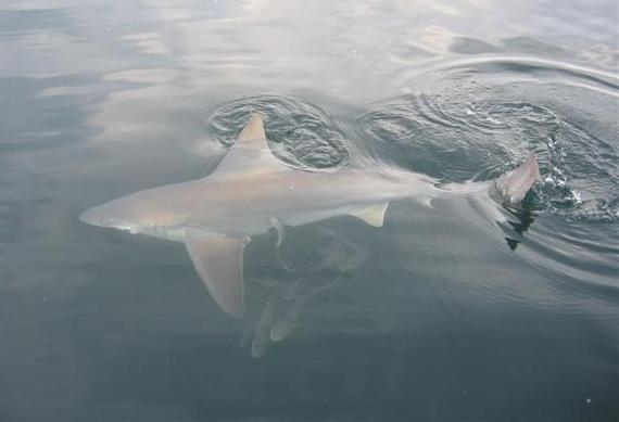 Bull-shark 1.jpg
