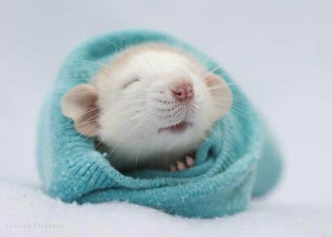 Cute-rat.jpg
