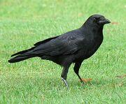 Rosella's pet crow.jpg