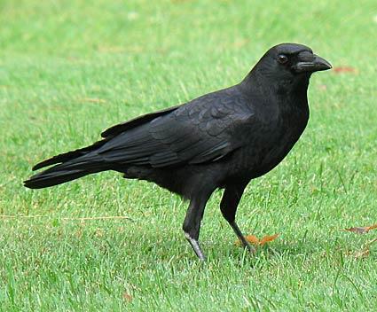 Pets/Rosella's Crow