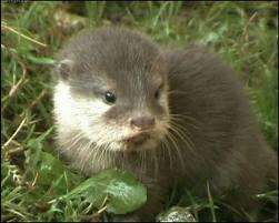 Baby Otter.jpg