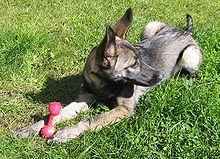 Pets/Cecilia's Wolfdog - Havoc