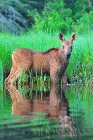 Baby Moose.jpg