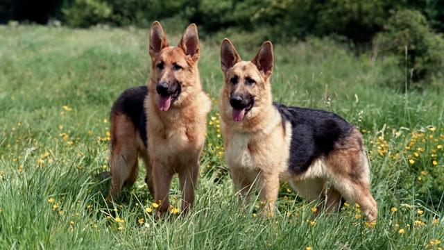 Pets/Serina's German Shepards