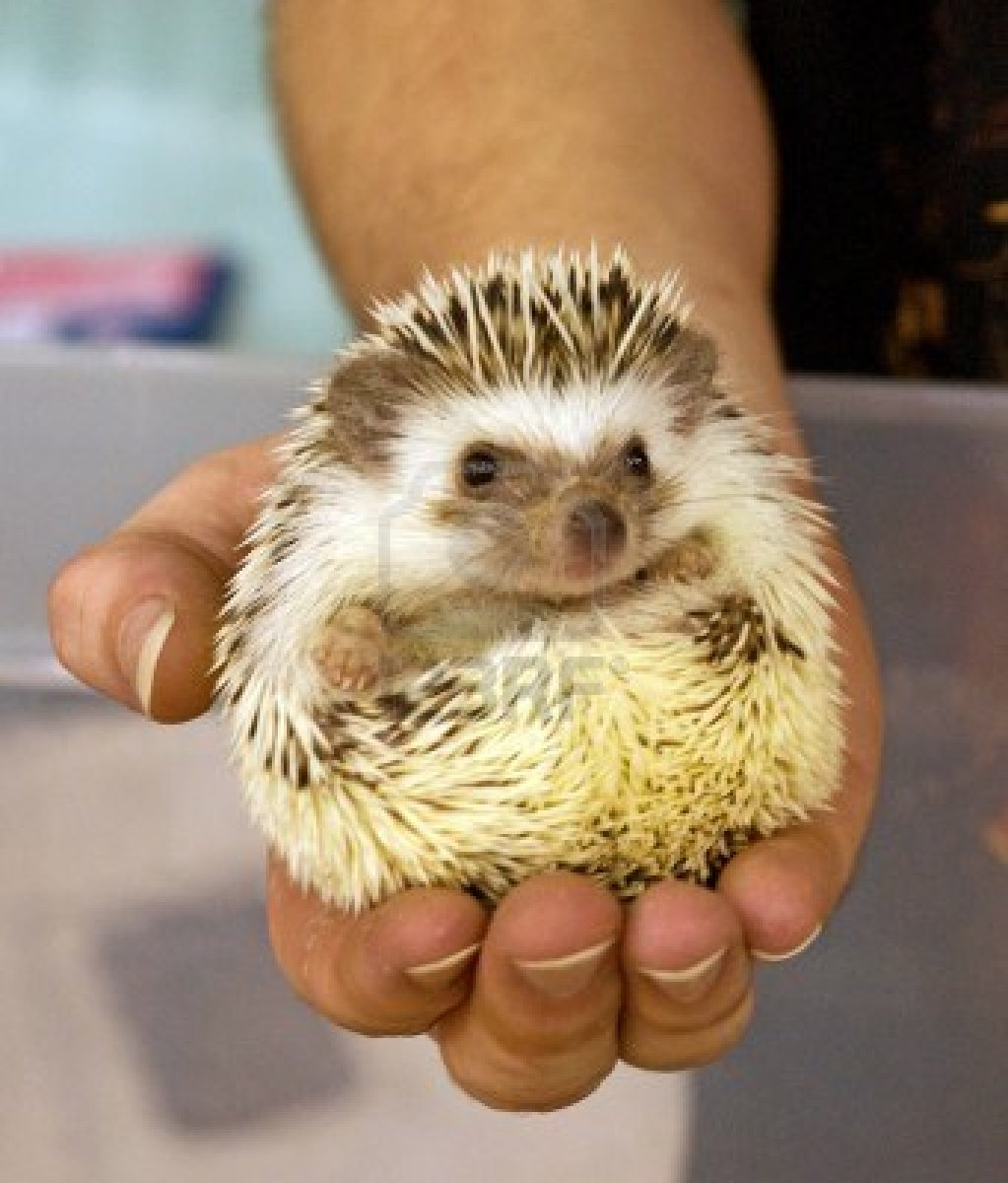 11298078-a-man-holds-a-domesticated-hedgehog-pet-in-the-palm-of-his-hand.jpg
