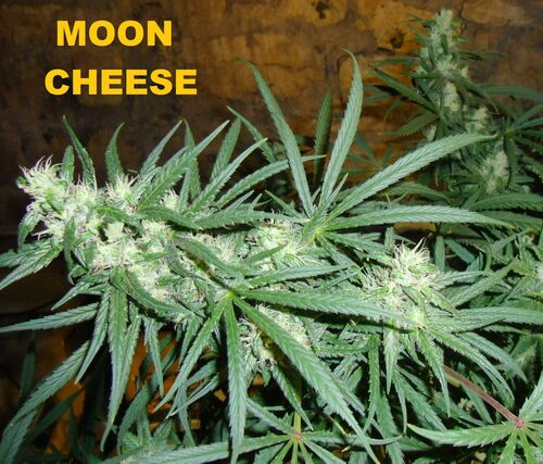 Moon cheese 005.jpg