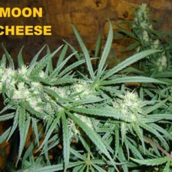 Cannabis Strain Lineages