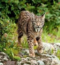 Mountain lynx 1.png