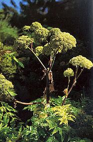 187px-Angelica archangelica (1118596627).jpg