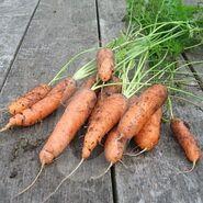 Carrot-Early-Nantes-2-8281-330x330