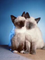 Siamese kittens.jpg