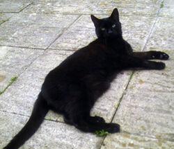 Bombay cat.jpg