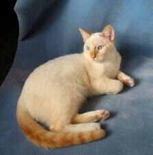 Flame Point Cat.jpg
