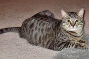 Tabby-cat-domestic-shorthair-balthazar.jpg