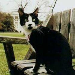 Bicolor Cat