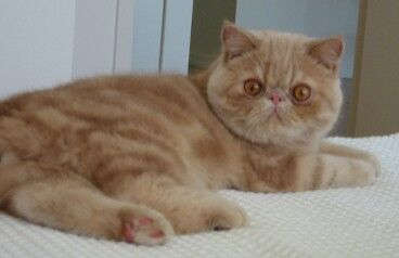 Cream tabby exotic cat