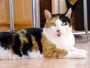 Calico cats.jpg