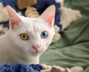 Odd-eyed cat-01.jpg