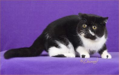 Exotic Shorthair - (Black and White Bicolor)