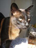 Brown Burmese Cat Headshot