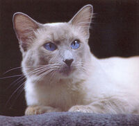 Bluebalinese