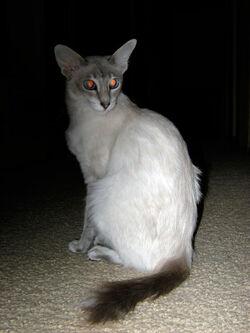 Javanese cat.jpg