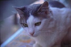 Aegean Cat.jpg