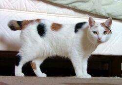 Manx breed cat named Inkku.jpg