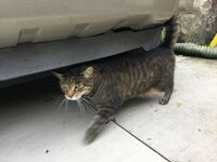 Ken0609's tabby cat named commander