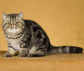 Exotic Shorthair - (Brown Tabby) - Adult