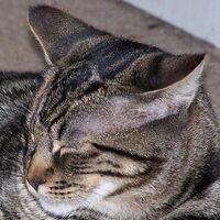 Tabby face markings