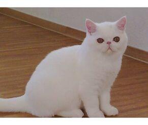 Exotic Shorthair - (White)