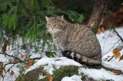 European Wildcat.jpeg