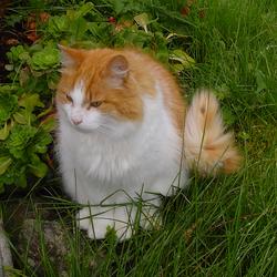 Norwegian Forest Cat in Norway.png