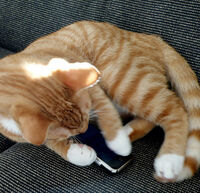 Orangetabby-cat-phone-text