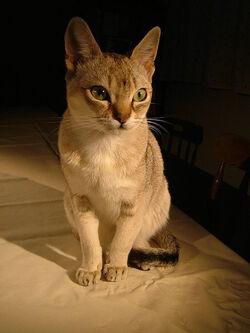 Raffles singapura cat.jpg