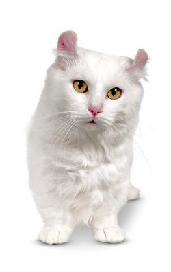 White Kinkalow Cat.png